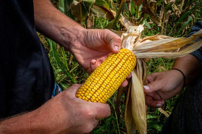 examining ears of corn (USDA/FPAC photo by Preston Keres)