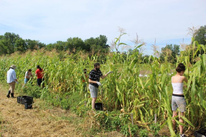 Seedkeeper and Seed Regeneration Manager, Jessika Greendeer, working with youth to harvest corn on July 25th, 2020. (Photo by Dream of Wild Health)