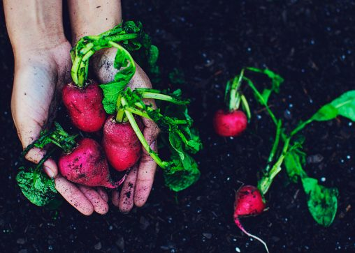 a hand pulling freshly harvested turnips from healthy soil