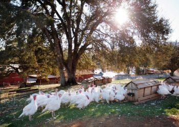 Pasture raised turkeys. (Photo courtesy of Diestel Family Ranch.)