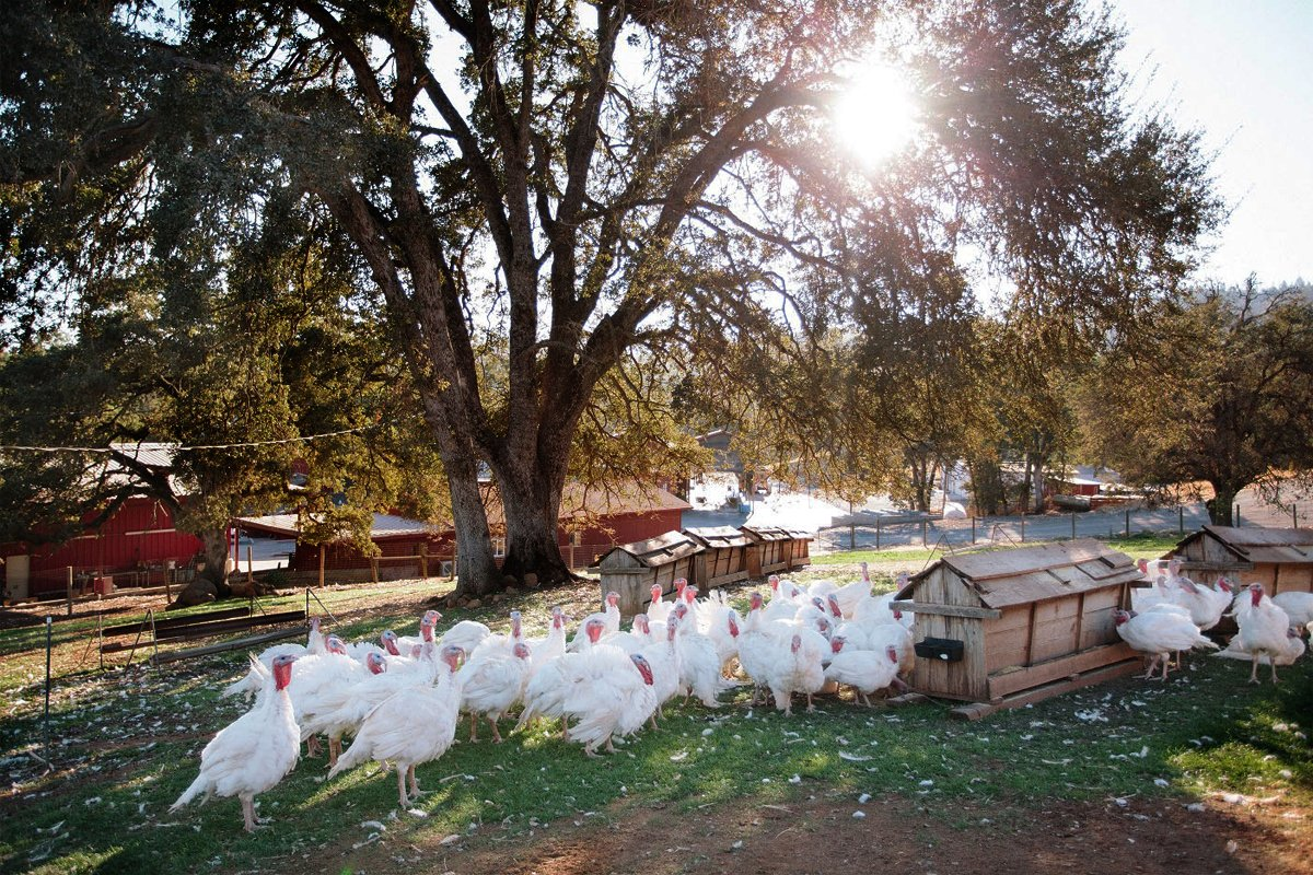 Pasture raised turkeys. (Photo courtesy of Diestel Family Ranch.)