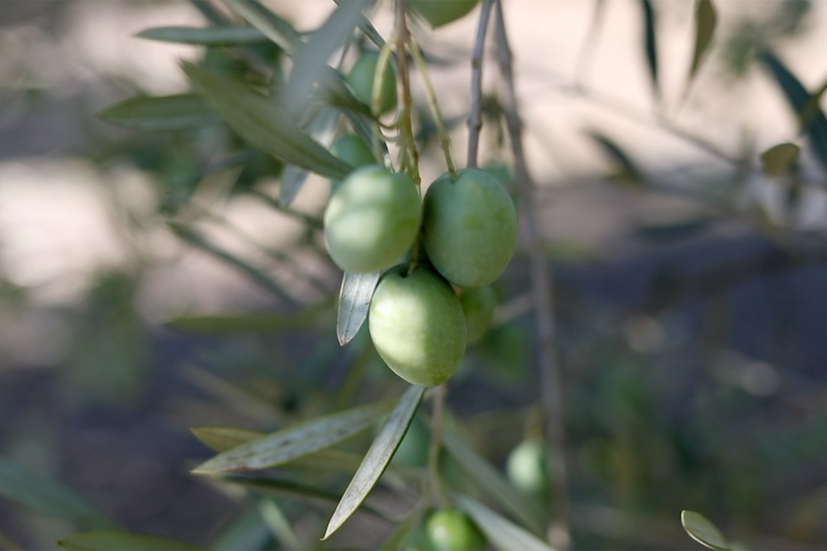 Olives growing on a tree on the Yocha Dehe Wintu Nation's farmland