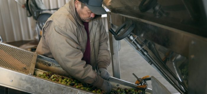 Processing olives into olive oil at the Yocha Dehe Wintun Nation's Séka Hills facility.