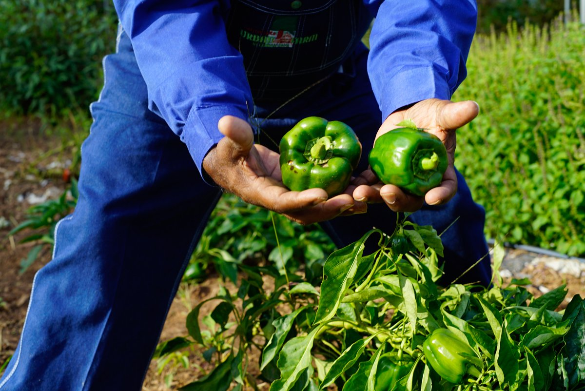 Green Peppers grown at Metro Atlanta Urban Farm in College Park, Georgia. (Photo courtesy of the Federation of Southern Cooperatives)