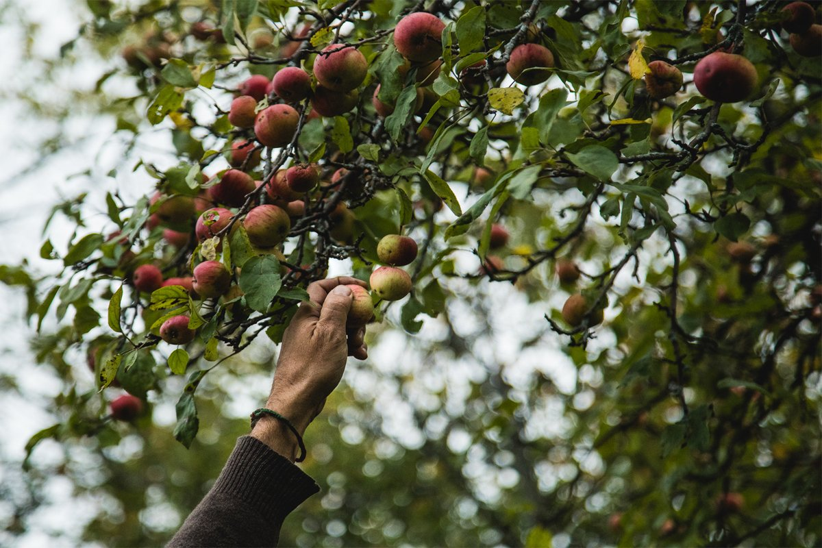 picking wild apples as part of a foraging project in upstate new york Photo credit: South Hill Cider