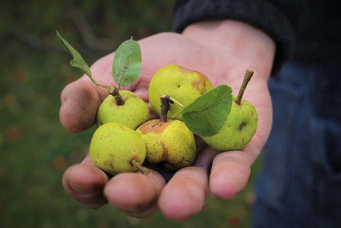 Wild pears. (Photo credit: South Hill Cider)