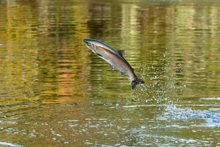 A coho salmon jumps in still marine waters along the central coast of British Columbia, Heiltsuk First Nation unceded traditional territory.
