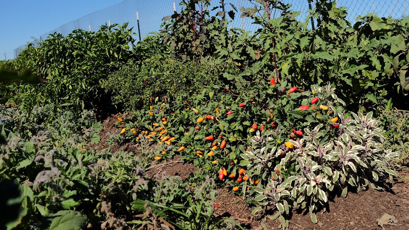 Peppers growing at CoCo San Sustainable Farm.