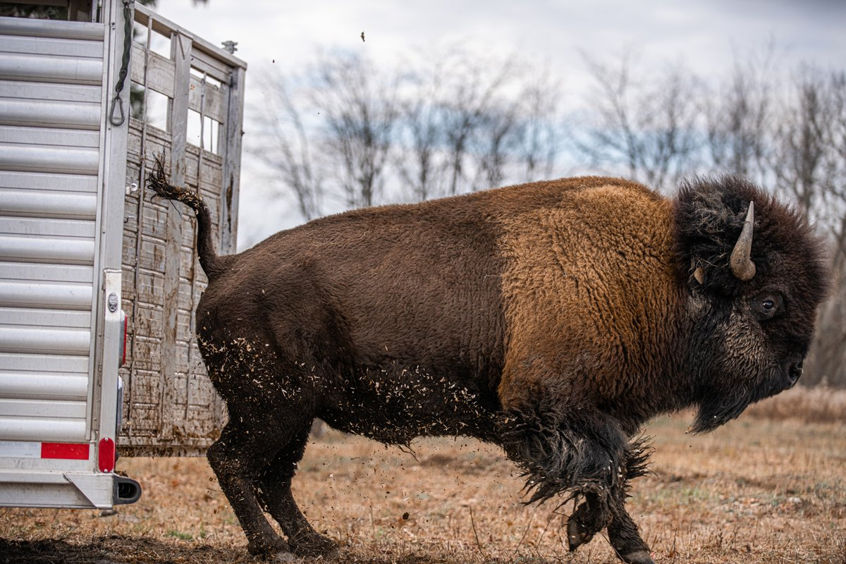 On November 8, 2020, Gakwi:yo:h Farms relocated their wild bison herd to Ohi:yo' at the Sunfish flats in Allegany, a sprawling 300-acre plot of land where the bison may roam freely. (Photo courtesy of Seneca Media & Communications Center)