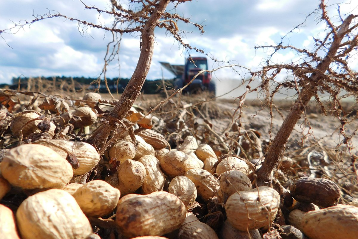 peanuts in a field being harvest by a tractor. Photo CC-licensed by the Georgia Peanut Commission