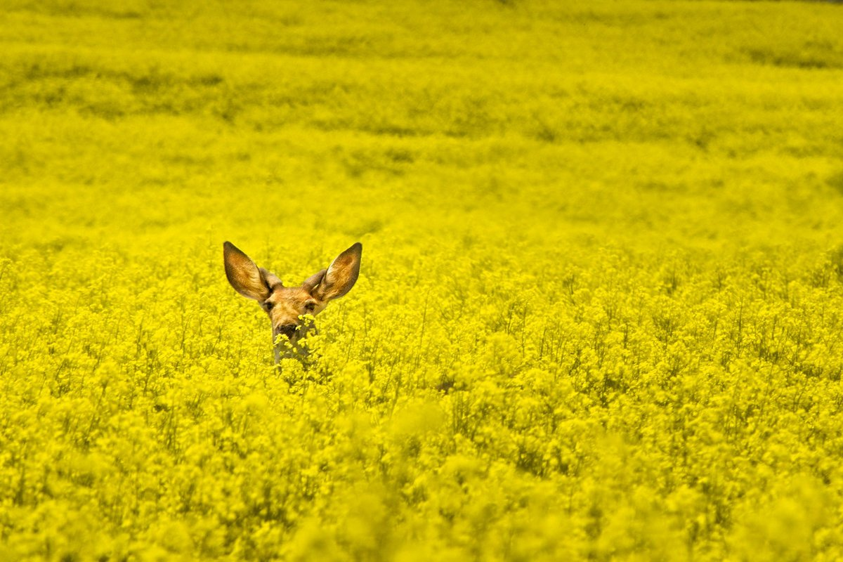 Deer in a canola field. (Photo CC-licensed by Jim Choate)