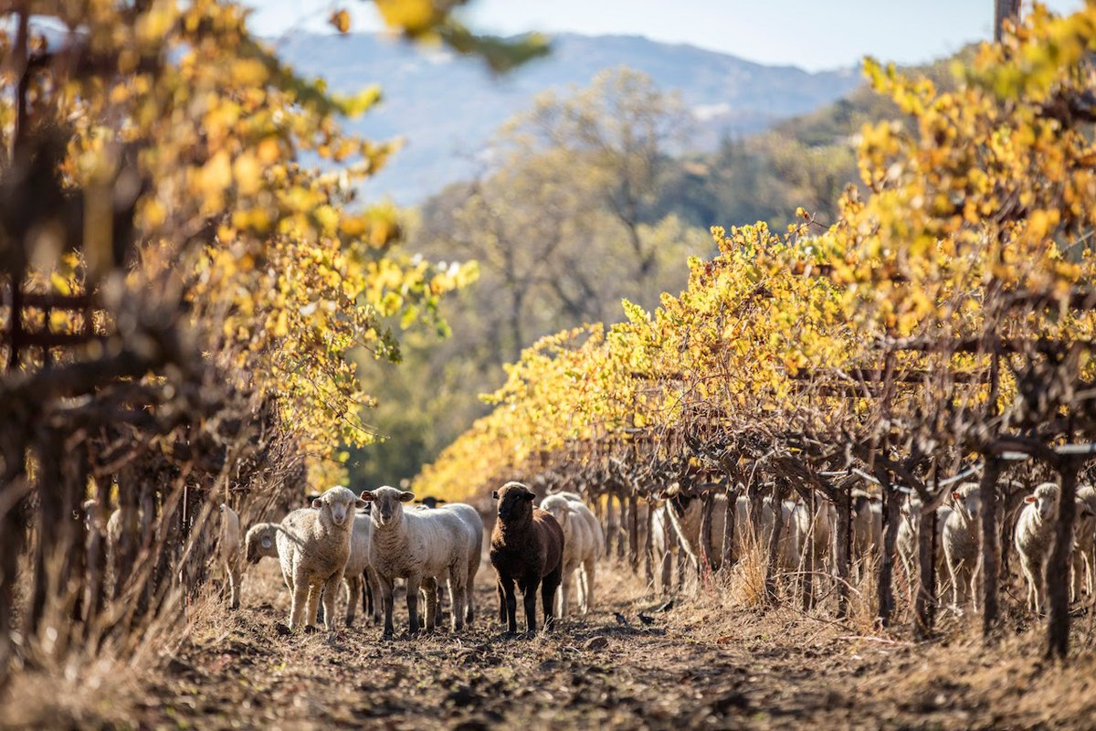 Sheep grazing in Bonterra's vineyards, building the biodiversity and reducing wildfire risk