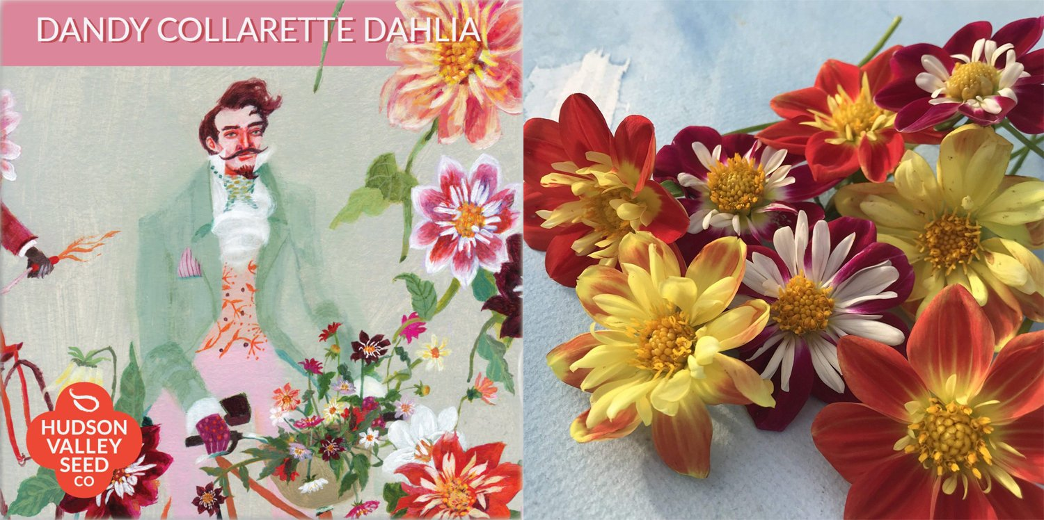 Dandy Colorette Dahlia art pack and flower photo