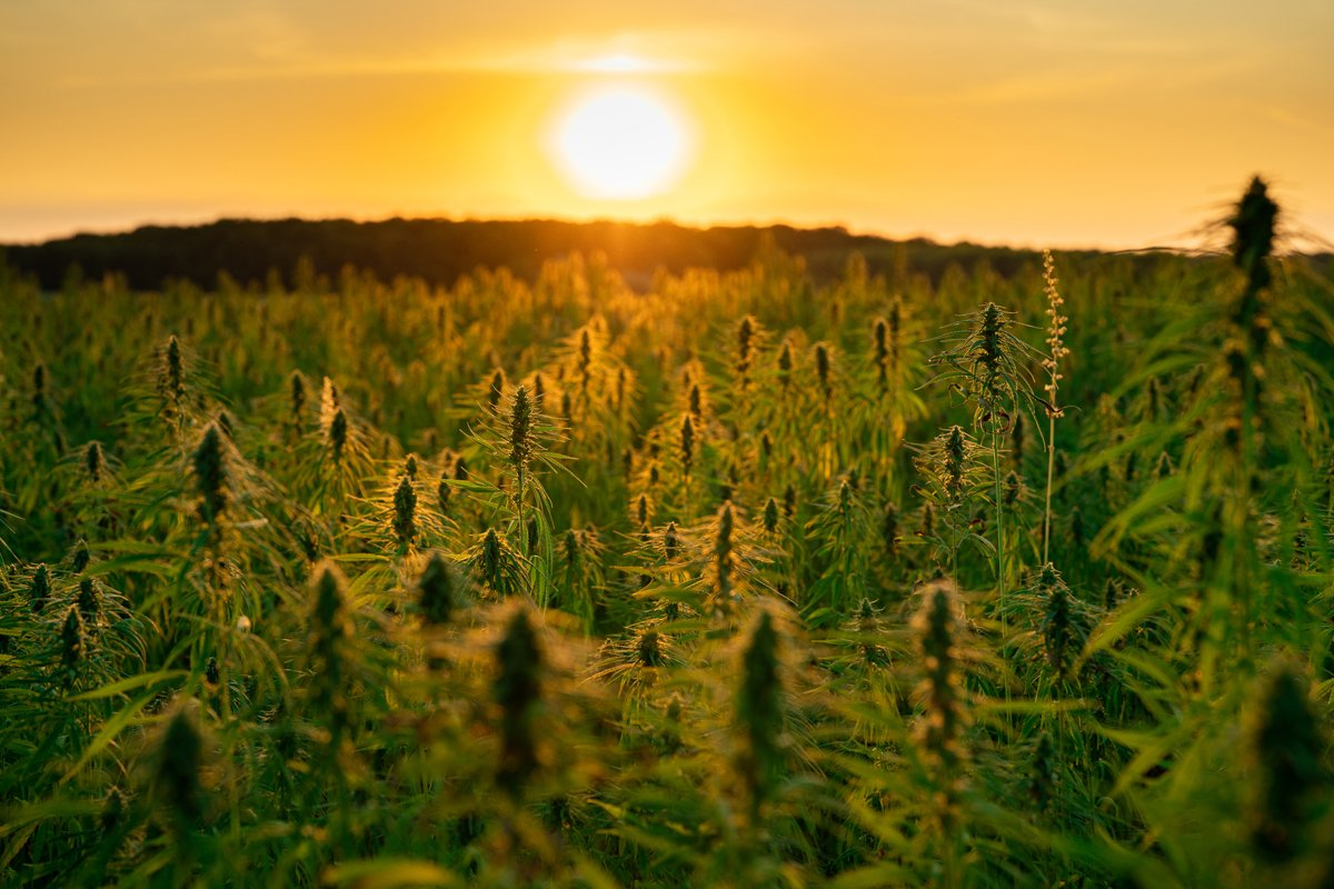 a field of hemp growing