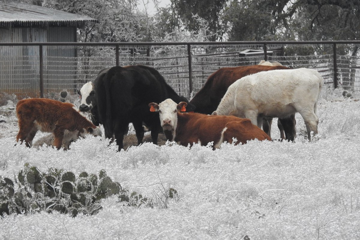 Cattle graze in Leander, Texas, during the Big Freeze. (Photo CC-licensed by Flickr user Wyscan)