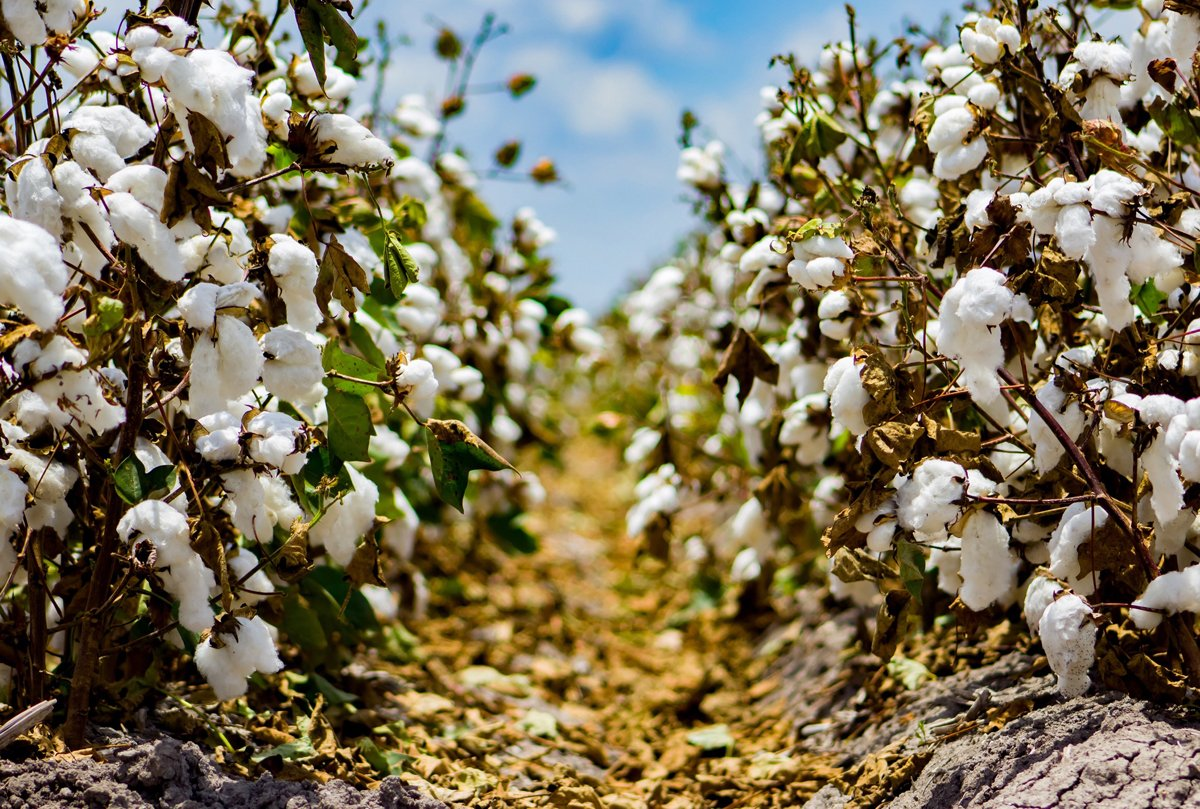 Fields of organic cotton