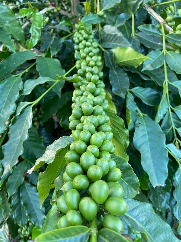 Green coffee beans growing in Kona. (Photo credit: Arturo Ballar)