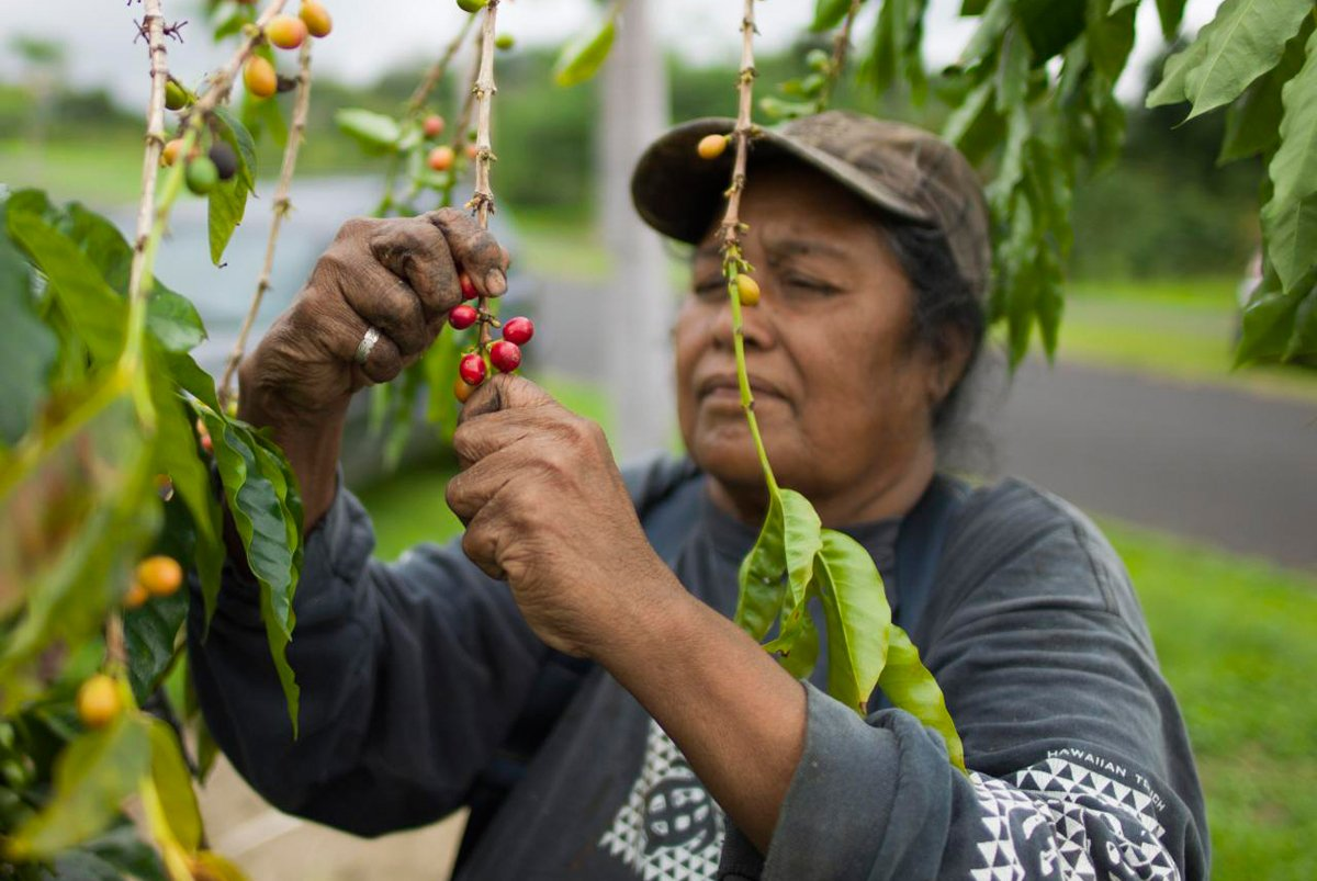 A woman harvests coffee on Kona. (Photo credit: Christopher Michel)