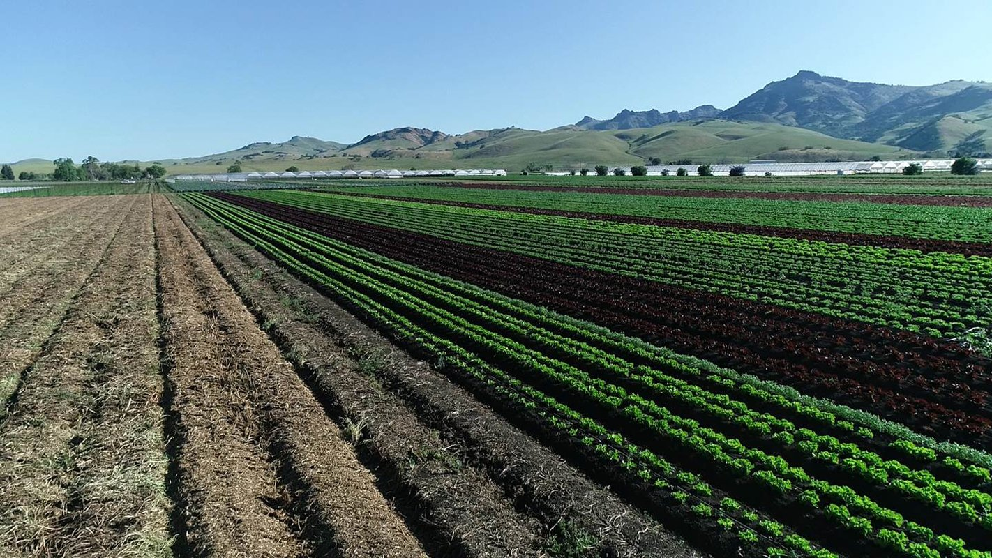 On Phil Foster's farm, immaculate, uniform vegetables growing on the right side, compared with a high-residue set of beds on the left. (Photo courtesy of Jeffrey Mitchell, UC Davis Cooperative Extension.