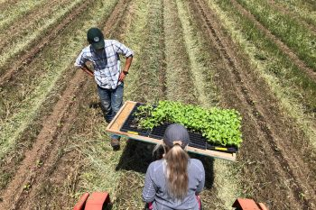 Transplanting melons in to high-residue beds on Full Belly Farm. (Photo courtesy of Full Belly Farm)