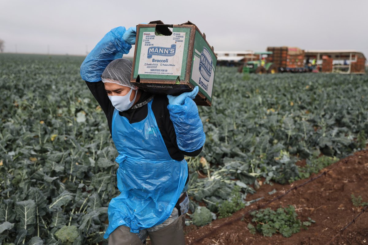 a migrant farmworker carries a box of broccoli in a farm field.