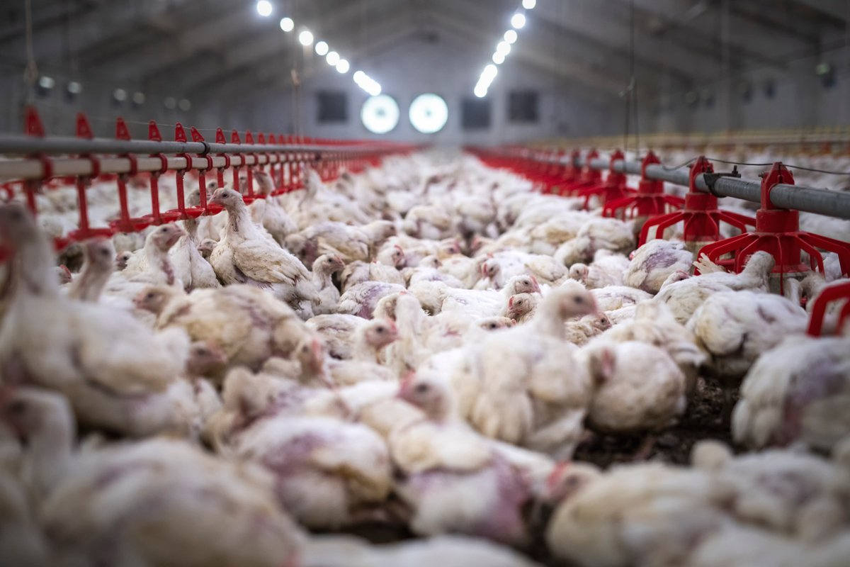inside a large chicken barn or cafo
