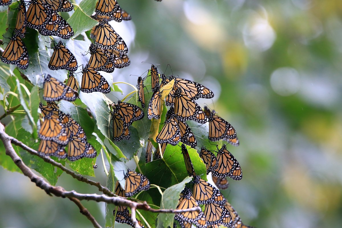 monarch butterflies on a tree
