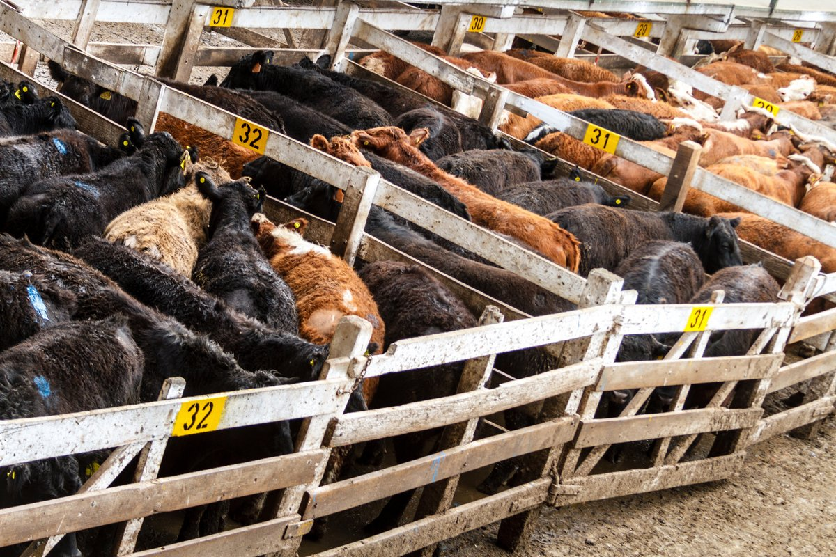 a bunch of cows corralled in pens being fed medically important antibiotics in their feed