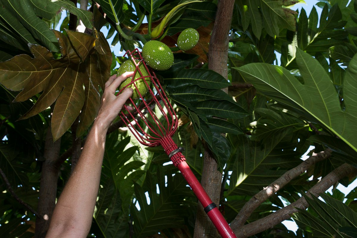 Harvesting 'ulu (Photo credit: Hawai'i 'Ulu Cooperative)