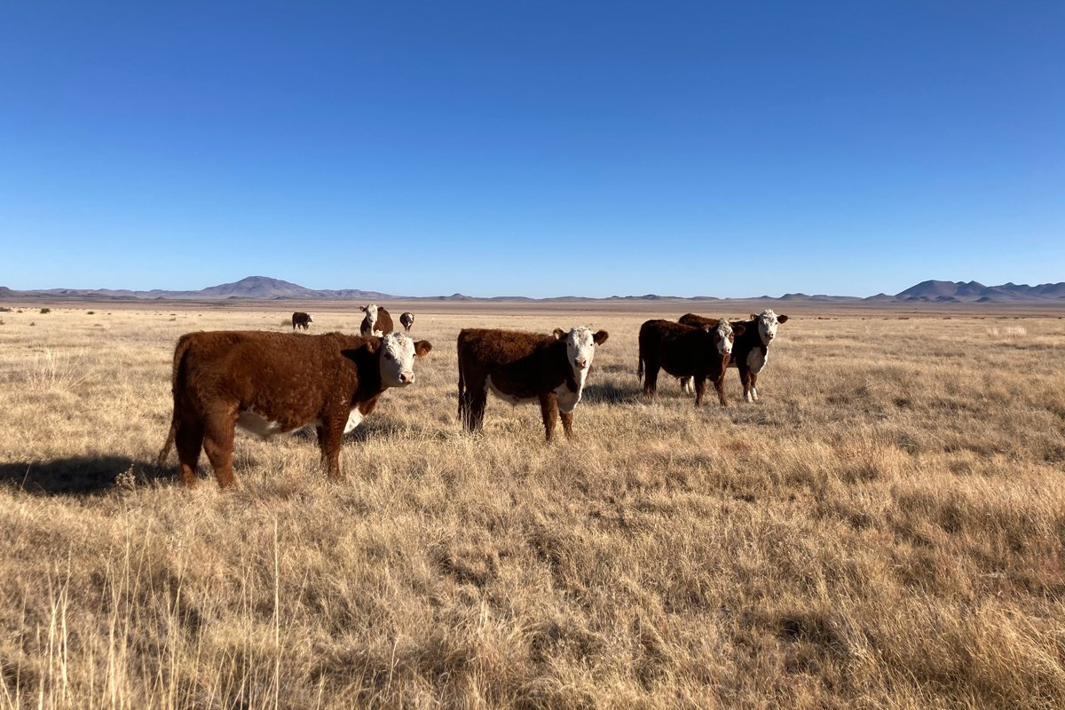 Steer Grazing at Marfa Grasslands Ranch. (Photo credit: Philip Boyd)
