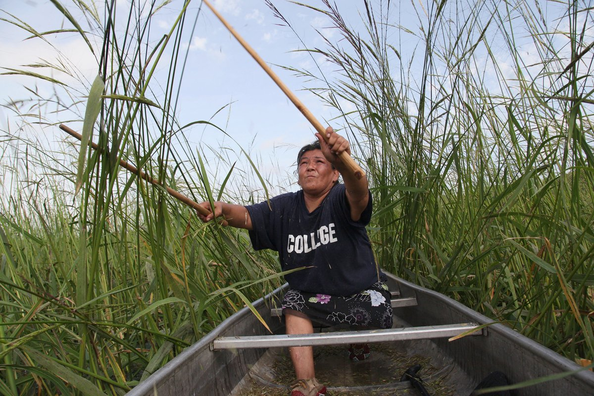 Tania Aubid harvesting manoomin. (Photo courtesy of Keri Pickett, from the documentary