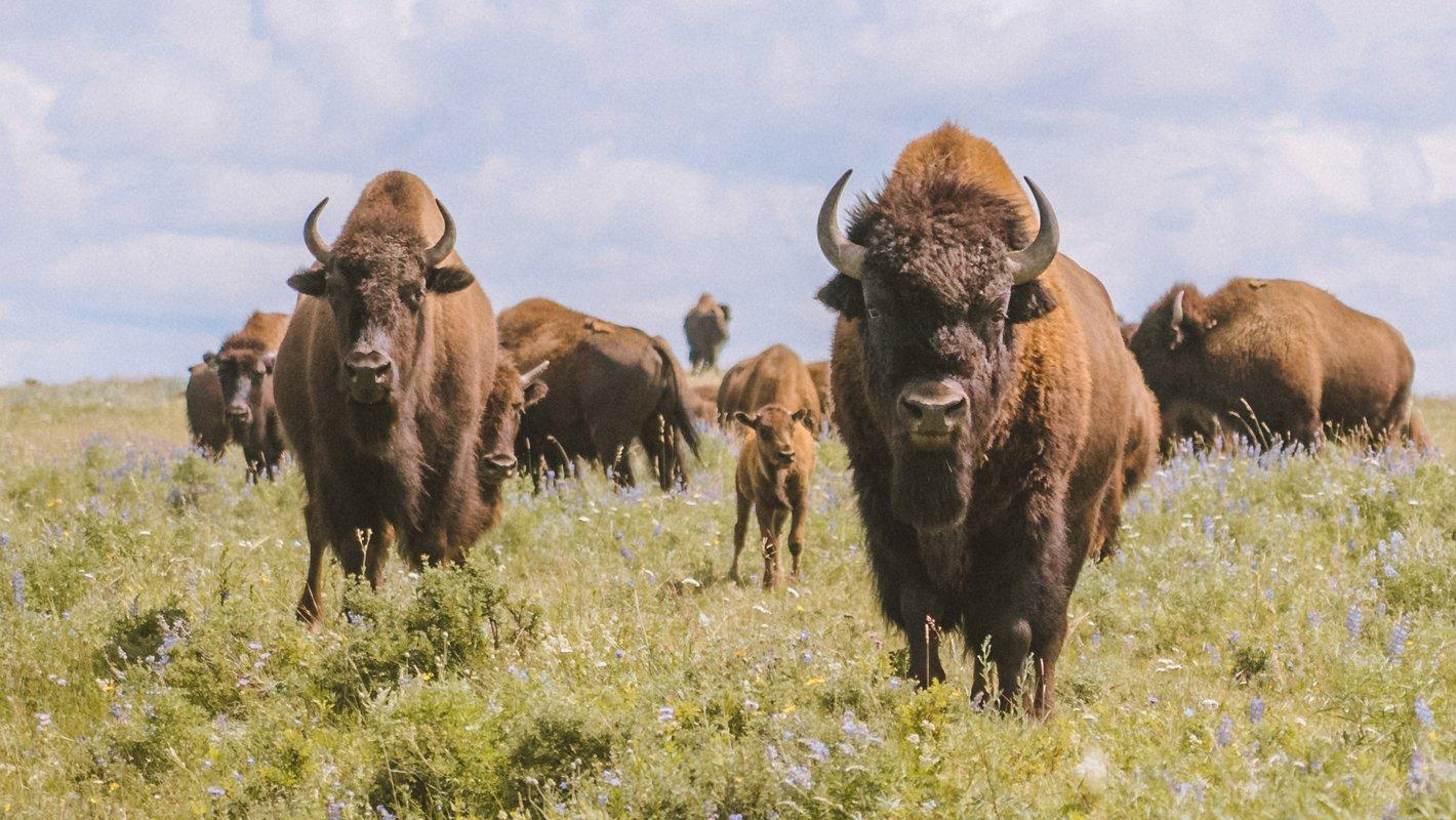 Bison on the Blackfeet Buffalo Reserve. (Photo credit: Costa Boutiskaris)