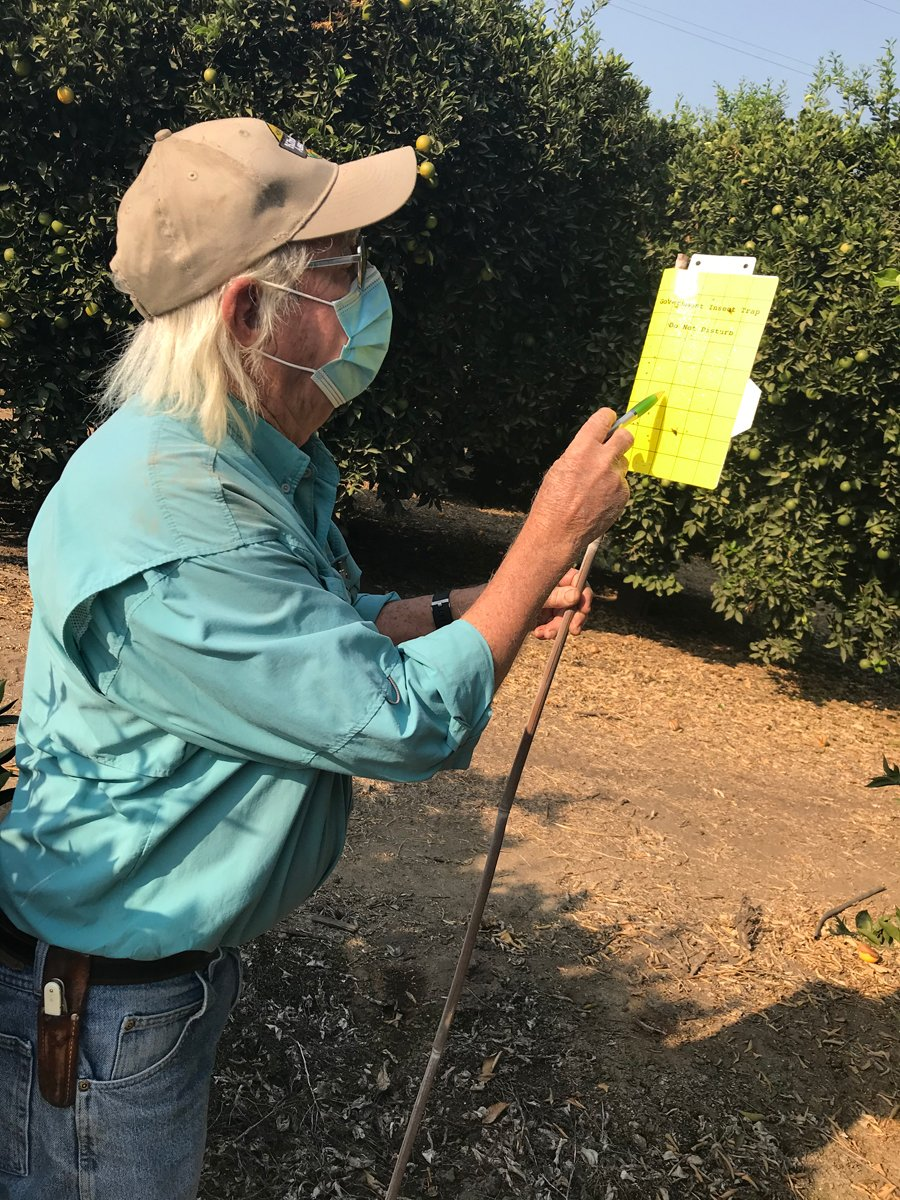 Jim Gorden inspects a sticky trap for asian psyllids. (Photo by Anne Marshall-Chalmers)
