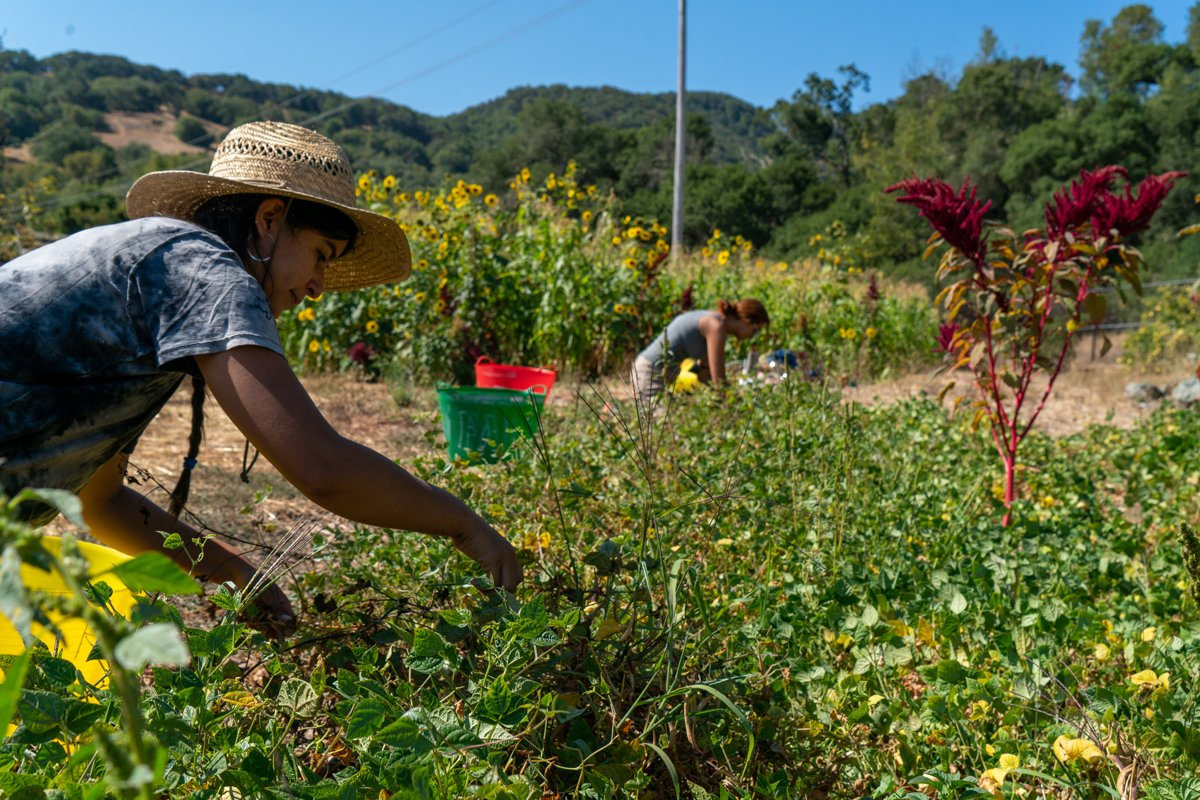 Maya Harjo, farm director at The Cultural Conservancy, harvests tepary beans at Indian Valley Organic Farm & Garden in Novato. Tepary beans are drought tolerant and excellent nutritionally, especially to lower risk of diabetes. Photo by Mateo Hinojosa, TCC