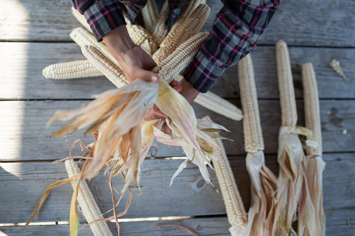 Grown by farmers with The Cultural Conservancy, Seneca Onëo white corn is braided for drying prior to shelling for seed and grinding for flour. Photo by Mateo Hinojosa, TCC