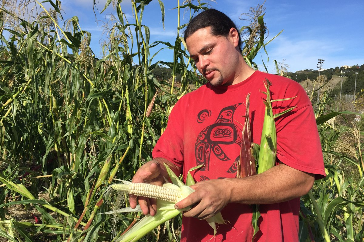 Ben Shleffar, a Native foodways farmer at The Cultural Conservancy, harvests 8-row Seneca Onëo white corn at Indian Valley Organic Farm & Garden in Novato. (Photo by Nícola Wagenberg, TCC)