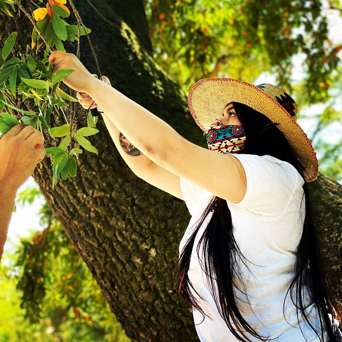 Viviana, one of the CIMCC's Tribal Youth Ambassadors gathers peppernuts from a California bay laurel. During the pandemic, the museum was forced to limit its in-person meetings to a small number of outdoor gatherings. (Photo by Laura Mendoza)