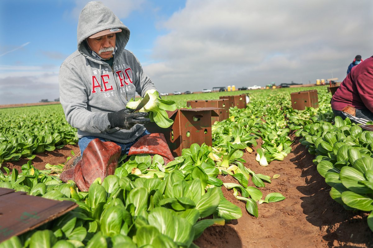 Farmworkers pick bok choy in a field on January 22, 2021 in Calexico, California. President Joe Biden has unveiled an immigration reform proposal offering an eight-year path to citizenship for some 11 million immigrants in the U.S. illegally as well as green cards to upwards of a million DACA recipients and temporary protected status to farmworkers already in the United States.(Photo by Sandy Huffaker/Getty Images)