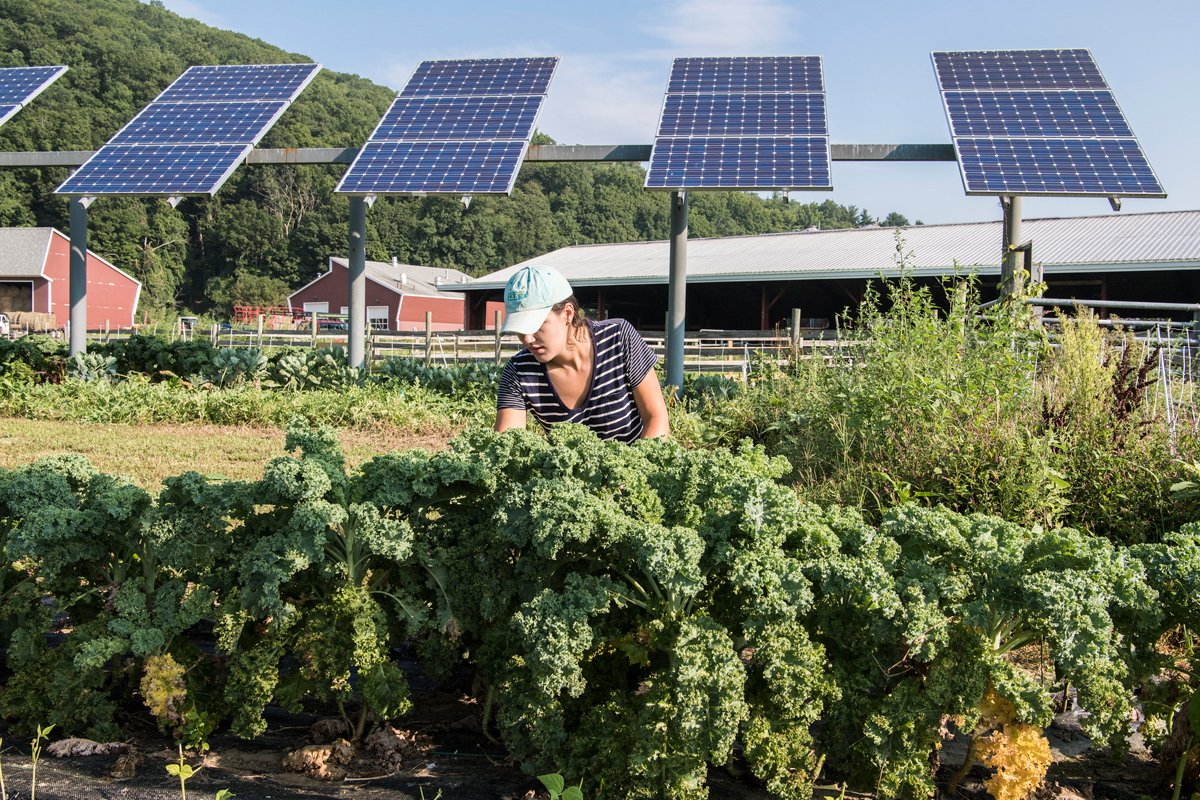 Umass grad student Kristin Oleskwwicz harvests vegetables growing under PV arrays at a test plot at the UMass Crop Animal Research and Education Center in South Deerfield, Massachusetts. (Photo CC-licensed by the National Renewable Energy Laboratory)