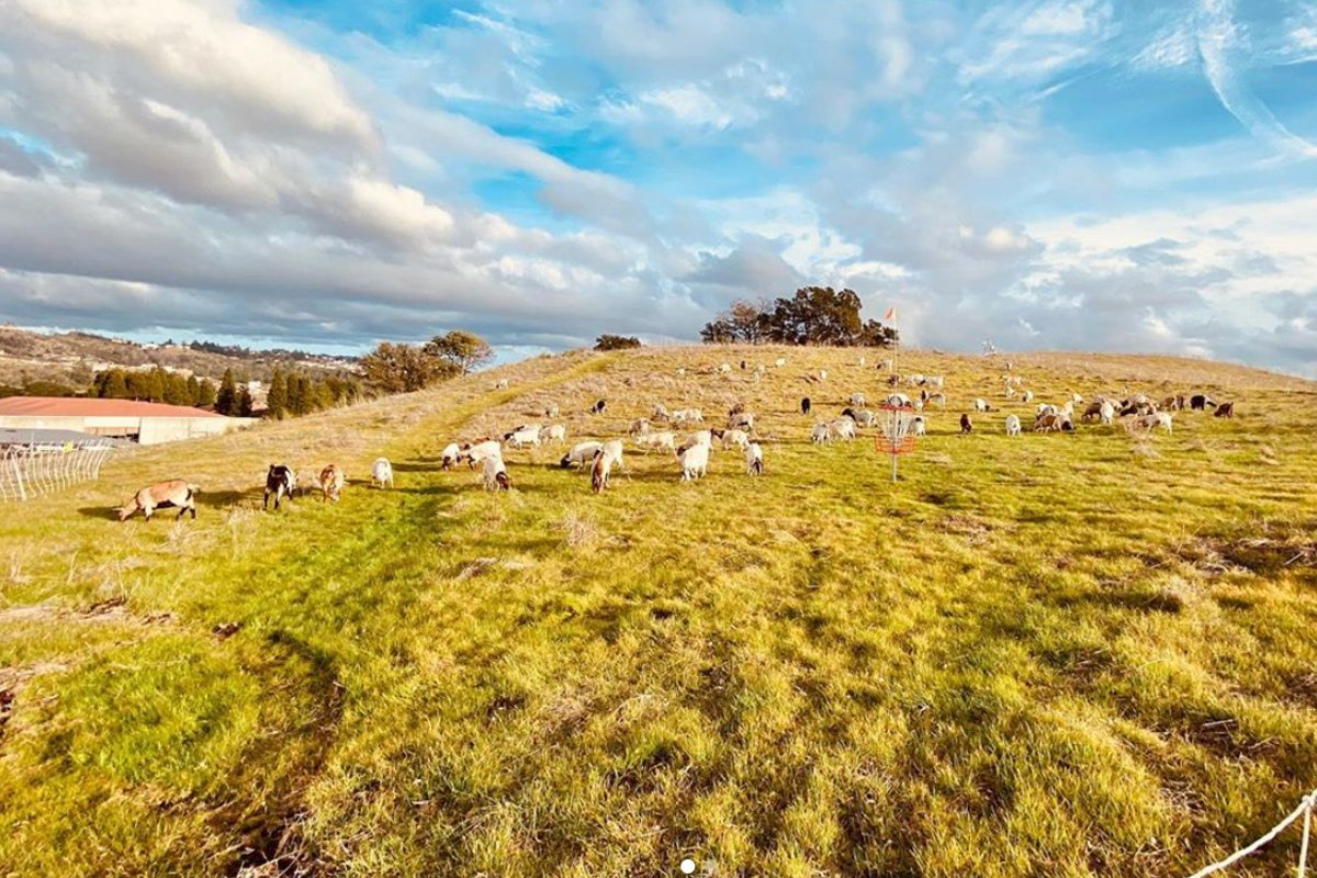 sheep grazing down wildfire fuel in northern california