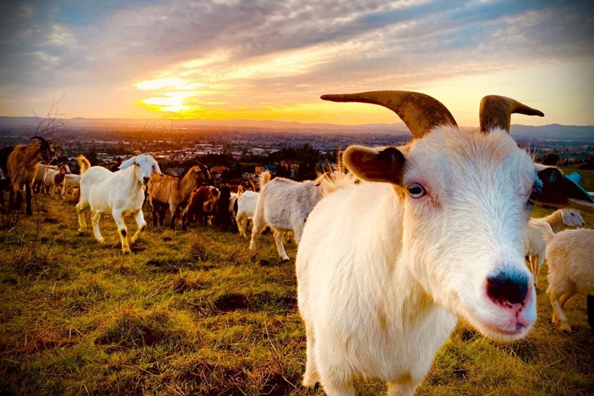 goats grazing down wildfire fuel in northern california