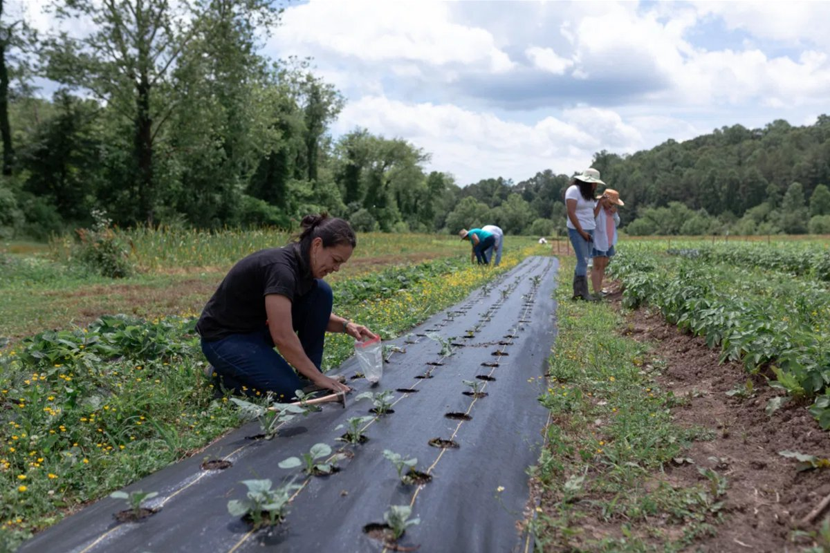 Delia Jovel and Latinx farmerss, members of Tierra Fertil Co-op, plant seeds and examine their crops on June 13, 2021 in Herdersonville, NC. (Photo by Juan Diego Reyes)