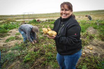 Rose Fraser harvesting potatoes in a garden on the Pine Ridge Reservation. (Photo courtesy of the Oyate Teca Project)
