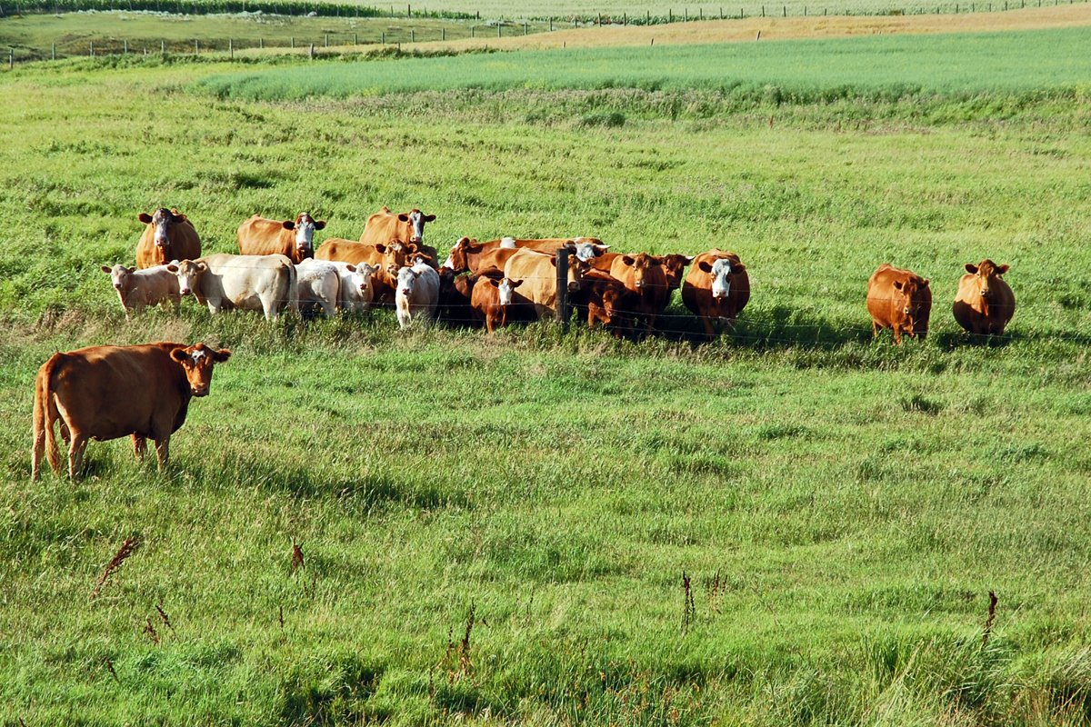 canada cattle grazing in manitoba on grasslands