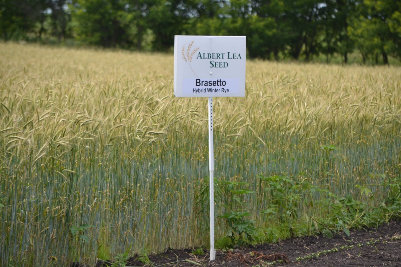 Hybrid rye grows on Frantzen Family Farm in Northern Iowa. (Photo by Brian DeVore)