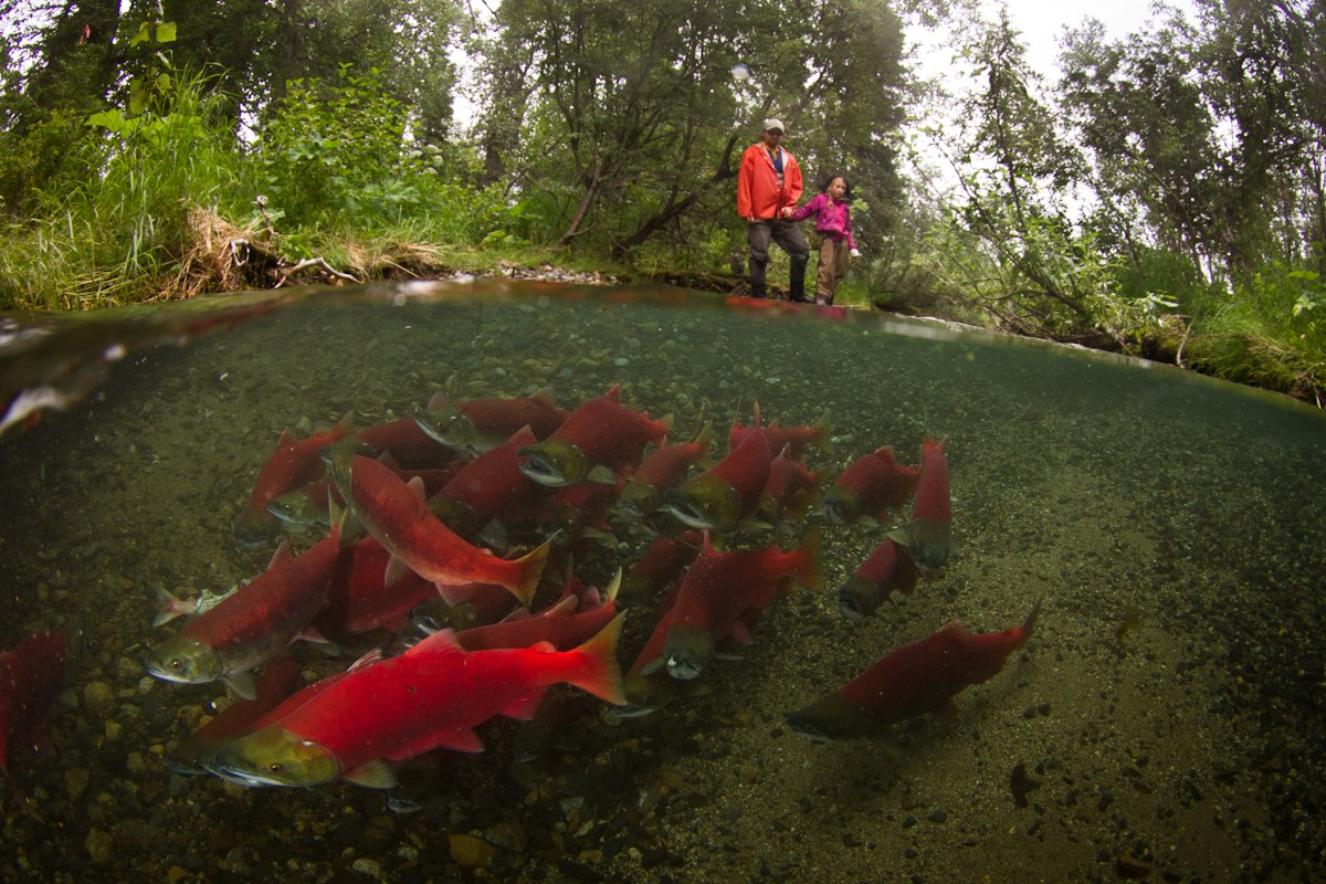 Two people observing sockeye salmon in a stream. (Photo credit: Jonny Armstrong)