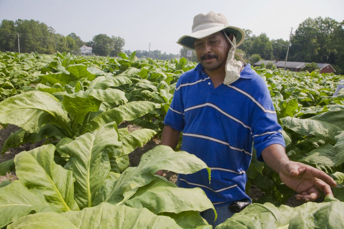 Francisco Matute, a farm worker from Honduras, trims the tops of tobacco plants so that the leaves will grow larger. Workers in tobacco fields get the juice from the plant on their hands and arms, and absorb nicotine from it, but the rancher discourages them from wearing gloves, saying that it would cause them to harm the plants. It is very hot in the sun—about 102 degrees. (Photo copyright David Bacon)