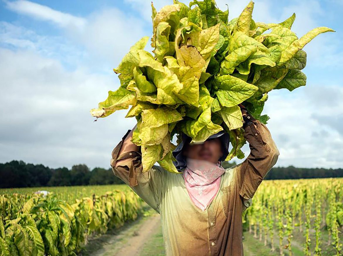 A worker in a North Carolina tobacco field in 2020. (Photo provided by anonymous worker)