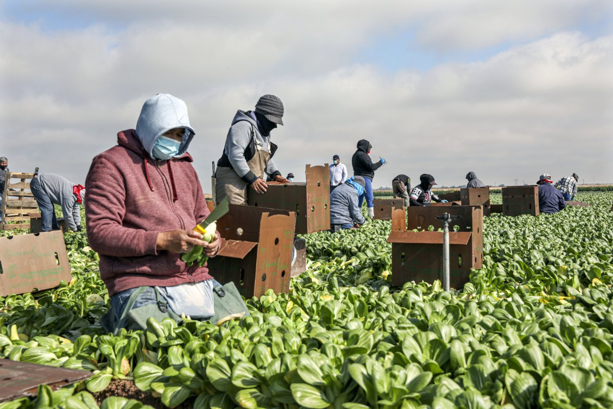 CALEXICO, CA - JANUARY 22: Farmworkers pick bok choy in a field on January 22, 2021 in Calexico, California. President Joe Biden has unveiled an immigration reform proposal offering an eight-year path to citizenship for some 11 million immigrants in the U.S. illegally as well as green cards to upwards of a million DACA recipients and temporary protected status to farmworkers already in the United States.(Photo by Sandy Huffaker/Getty Images)