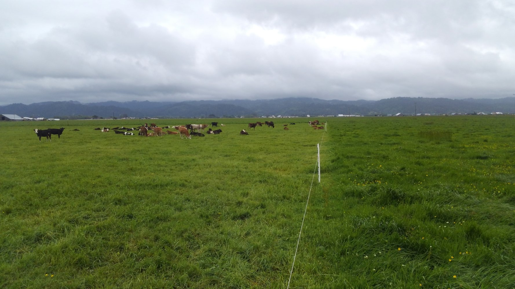 Intentionally managed grazing—a nuanced art-form of moving mobs from pasture to pasture based on a large number of factors, including grass height—is key to carbon sequestration.